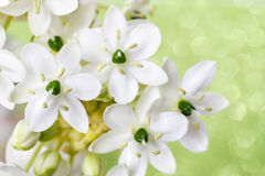 Spring background with arabian star flower (ornithogalum arabicu. M). Party decoration Stock Photos
