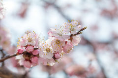 Spring background art with pink blossom Royalty Free Stock Image