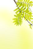 Spring background with ash tree branch Royalty Free Stock Photography