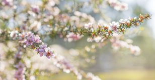 Spring background of Australian pink leptospermum flowers. Pink Australian leptospermum flowers on a Spring background for condolences sympathy card backdrop stock images