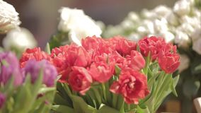 Many Tulips in Flower Shop. Spring background with beautiful red and purple tulips. Flower shop, close up stock footage