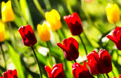 Spring  background with beautiful tulips. Summer flower backgrou Stock Photos