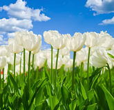 Spring background with beautiful white tulips Stock Image