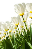 Spring background with beautiful white tulips Royalty Free Stock Photos