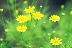 Spring background of beautiful yellow daisy flowers Royalty Free Stock Photo