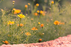 Spring background of beautiful yellow daisy flowers Stock Images