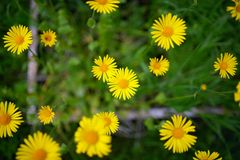 Spring background with beautiful yellow flowers Stock Image