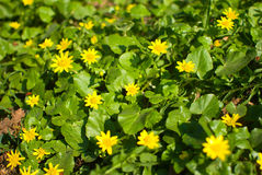 Spring background with beautiful yellow flowers Stock Images
