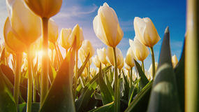 Spring background with beautiful yellow tulips Royalty Free Stock Photos