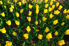 Spring background with beautiful yellow tulips Royalty Free Stock Image