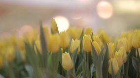 Many Tulips in Flower Shop. Spring background with beautiful yellow tulips. Flower shop, close up stock video