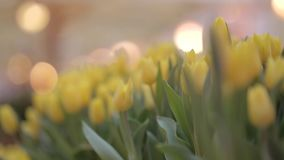Many Tulips in Flower Shop. Spring background with beautiful yellow tulips. Flower shop, close up stock footage