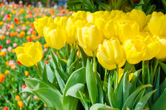 Spring background with beautiful yellow tulips in Keukenhof garden, Netherlands Stock Images