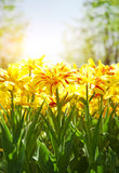 Spring background with beautiful yellow tulips Stock Photos