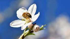 Spring background. Beautifully blossoming tree with a bee. Flower in nature. Royalty Free Stock Photos