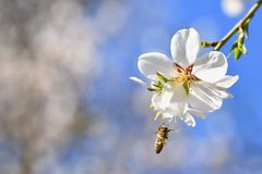 Spring background. Beautifully blossoming tree with a bee. Flower in nature. Spring background. Beautifully blossoming tree with bee. Flower in nature royalty free stock photography