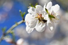 Spring background. Beautifully blossoming tree with a bee. Flower in nature. Stock Images