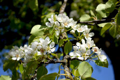 Spring background. Blooming apple tree Royalty Free Stock Photo
