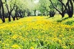 Spring background blooming dandelion flowers meadow. Beautiful sunny day springtime nature landscape with thousand royalty free stock photography