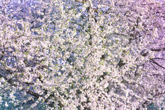Spring background with blooming tree Royalty Free Stock Image