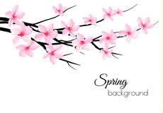 Spring background with blossom brunch of sakura.  Royalty Free Stock Photography