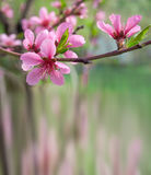 Spring background with blossoming peach Royalty Free Stock Photos