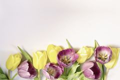 Spring background with border from violet and yellow tulips and royalty free stock image