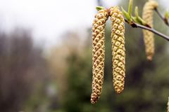 Spring background with branch of birch catkins. Inflorescence of blossoming birch closeup on a spring day. Beginning of new life. Birch catkins with green leaves royalty free stock photography