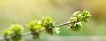 Spring background with branch and blooming young green leaves. C royalty free stock photography