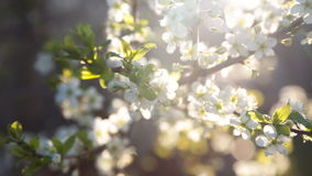 Spring background of branches of a blossoming tree stock video footage