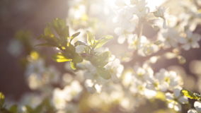 Spring background of branches of a blossoming tree stock footage