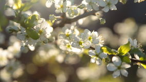 Spring background of branches of a blossoming tree stock video