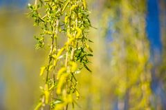 Spring background with fresh willow leaves. Spring background with bright fresh willow leaves royalty free stock photography