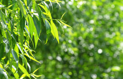 Spring background. With bright fresh willow leaves stock photography