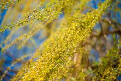 Spring background with fresh willow leaves. Spring background with bright fresh willow leaves royalty free stock images