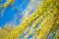 Spring background with fresh willow leaves stock photography