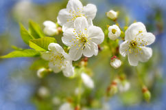 Spring background with cherry blossom Stock Photos