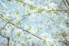 Spring background. Cherry Blossom trees, white flowers and green leaves on blue sky background royalty free stock photo