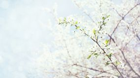 Spring background. Cherry Blossom trees, white flowers and green leaves on blue sky background stock photography