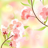 Spring background. With cherry blossoms Royalty Free Stock Image