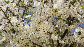 Spring background of cherry blossoms Royalty Free Stock Photos