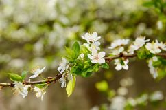 Spring background with copy space. Blooming white flowers on the blurred nature background. Spring background with copy space for text. Blooming white flowers on stock photo