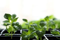 Spring background with copy space. Young grown in a box of pepper seedlings with drops of water on the leaves. stock images