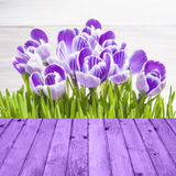 Spring background crocuses wooden panel Stock Images