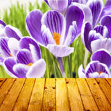 Spring background crocuses wooden parquet Stock Photos