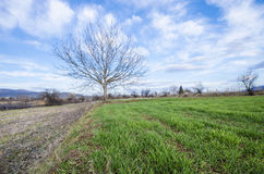 Spring background, cultivated land and tree horizon. Single tree with no leaves on green grass against blue sky with clouds horizon Stock Photo
