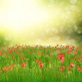Field of poppy flowers. Spring background with 3d fresh green grass and poppy flowers over bokeh background Stock Image