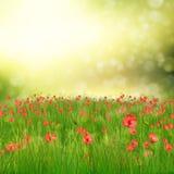 Field of poppy flowers Stock Image
