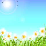 Spring background with daffodil narcissus flowers, green grass, swallows and blue sky. Royalty Free Stock Image