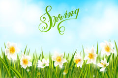 Spring background with daffodil narcissus flowers, green grass, swallows and blue sky. Stock Photos